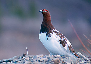 Photo of a willow ptarmigan in transitional plumage. Photo by the Alaska Department of Fish and Game.