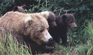 Fall Brown Bear Hunts Proposed Near Petersburg