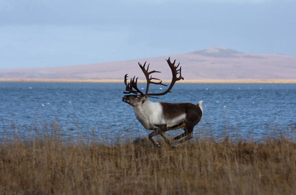 Male caribou running near Kiwalik, Alaska. (Photo: Jim Dau)