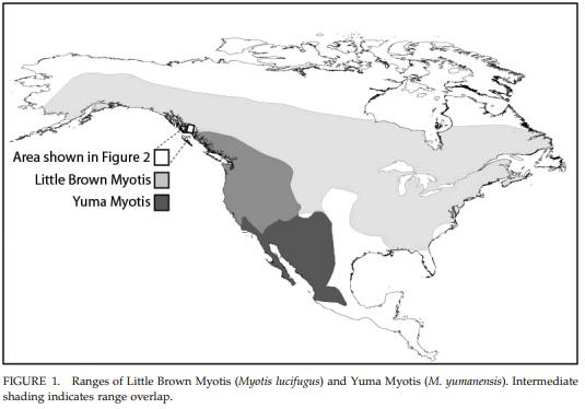 (Image via FIRST RECORDS OF YUMA MYOTIS (MYOTIS YUMANENSIS) IN ALASKA)