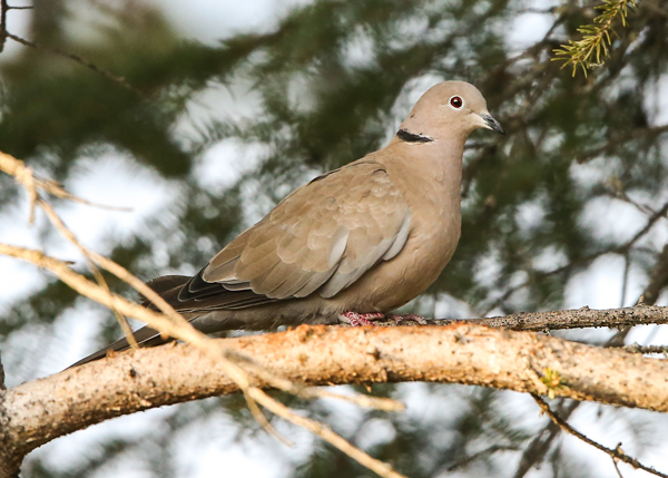 Delta-area bird-count coordinator Steve DuBois photographed this Eurasian collared dove in the Delta Junction area in September. (Credit Steve DuBois)