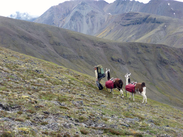 Phillip Nuechterlein of Eagle River llama packing in Wrangle St. Elias National Park. (Credit Linda Nuechterlein)