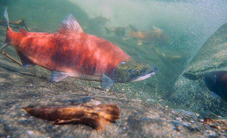 Sockeye salmon. (Alaska Department of Fish and Game photo)