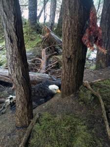 trapped-eagle-2