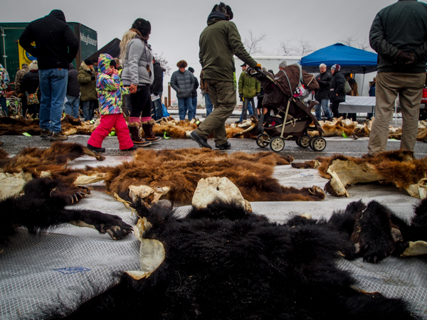 Approximately 50 bear hides were sold, along with pelts from beavers, wolves, dall sheep, and even a musk ox hide from a DLP case in Kotzebue. (Photo: Zachariah Hughes, KSKA)