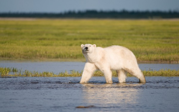 Polar bears forced ashore when the sea ice melts in summer may eat vegetation, berries, goose eggs, and even some adult geese. But, because of limited availability and or low nutritional quality, these foods cannot offset lost access to lipid-rich seals caused by melting sea ice. (Photo © BJ Kirschhoffer/Polar Bears International)