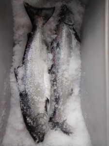 Troll caught winter king salmon (Photo courtesy of Matt Lichtenstein)