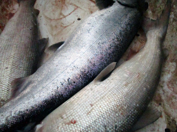 2015 is predicted to be a below-average king salmon run. (Photo by Ben Matheson / KYUK)