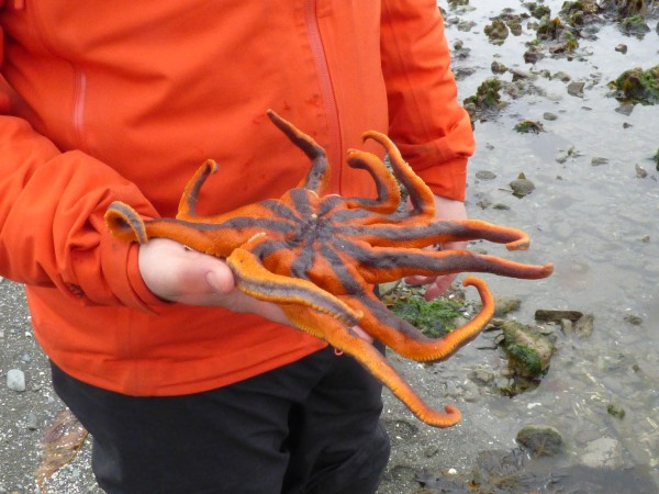 Josh Good holds a healthy solaster, or sun star, on an Unalaska beach. (Annie Ropeik/KUCB)