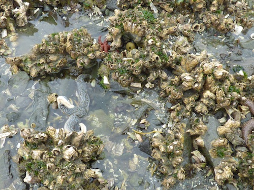 This Unalaska tide pool holds several different species of healthy sea star. (Annie Ropeik/KUCB)