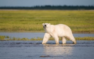 Study Says Terrestrial Foods Can't Replace Polar Bears' Energy-Dense Diet