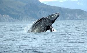 Gray_whale_Merrill_Gosho_NOAA2_crop