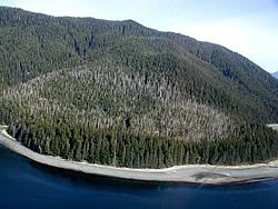 An aerial shot of a yellow cedar stand. (U.S. Forest Service photo)