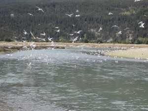 Gulls feeding on hooligan in the Taiya River. (Emily Files)