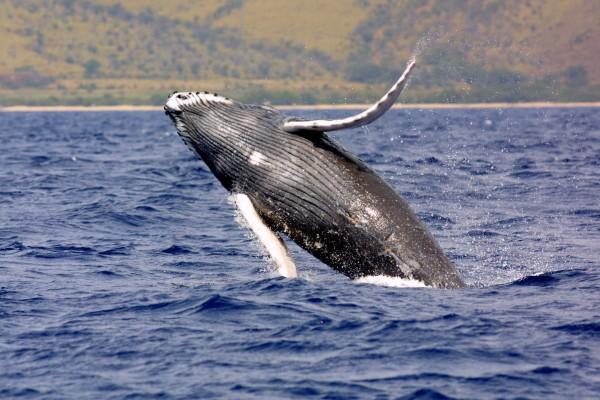 Humpback whale. (Credit: NOAA)