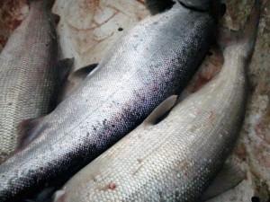 Federal Biologists to Manage Kuskokwim Kings