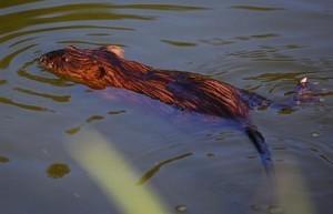 Alaska Muskrat Populations Are Rebounding
