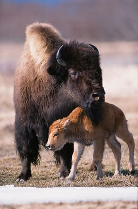 Wood Bison in Portage game facility. Credit: Alaska Department of Fish and Game