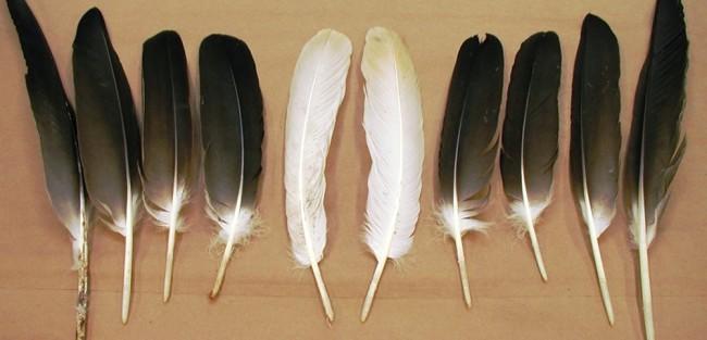 Alaska Eagles Supply Feathers To Lower 48 Tribes Alaska