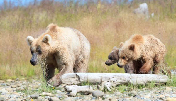 Holly, a favorite among cam viewers, with her cubs - one biological, one adopted. (Photo courtesy  Tina Crowe, NPS)