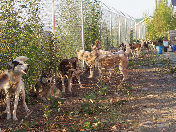 A coordinated emergency plan reassessed just week ago by the Willow Mushers Association helped evacuate hundreds of sled dogs to safety during the rapid spread of the Sockeye fire. (Photo: Zachariah Hughes, KSKA)
