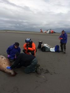 (L-R) Kate Savage (NOAA), Noah Meisenheimer (NOAA), Lt. Matthew Keiper (US Coast Guard), and Sadie Wright (NOAA) collect samples from a dead Steller sea lion near Cordova, Alaska. Credit: NOAA