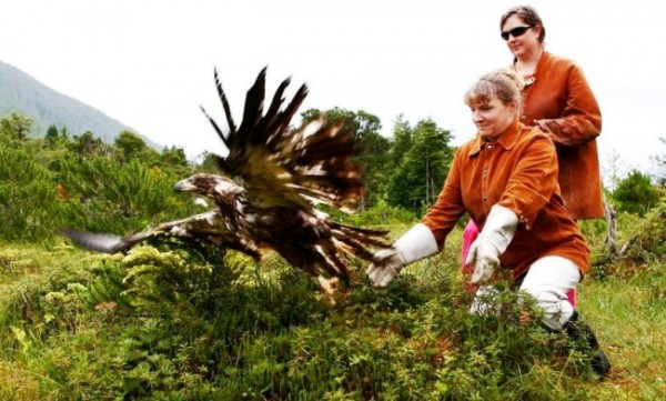 An immature bald eagle is released at Sitka's Alaska Raptor Center. Feathers shed by healing and resident eagles are sent to a collection center for distribution to Lower-48 tribes. (Photo courtesy of Alaska Raptor Center)
