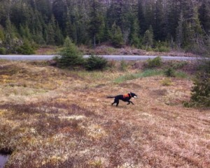 Ketchikan Welcomes A Canine to Search And Rescue Squad