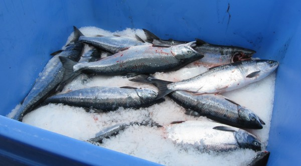 Sockeye on ice. (Credit Mike Mason/KDLG)