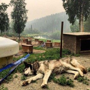 Sled Dogs Safe, But Musher Stays To Protect Fire-Threatened Homestead