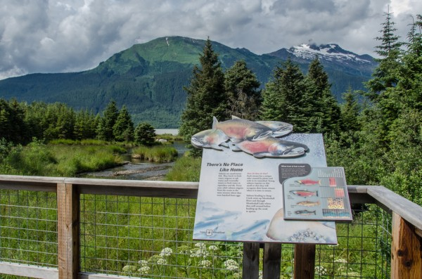The Steep Creek Trail with its platforms where visitors can view salmon and bears is one of the areas the U.S. Forest Service will start charging people to use starting next summer. (Photo by Heather Bryant/KTOO)