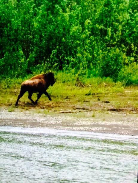 Lone bison spotted between Aniak and Kalskag. (Photo courtesy of Marco Nichelson)