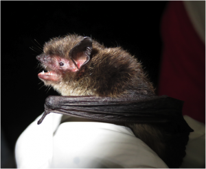 A little brown bat captured in Juneau. (Courtesy ADF&G)