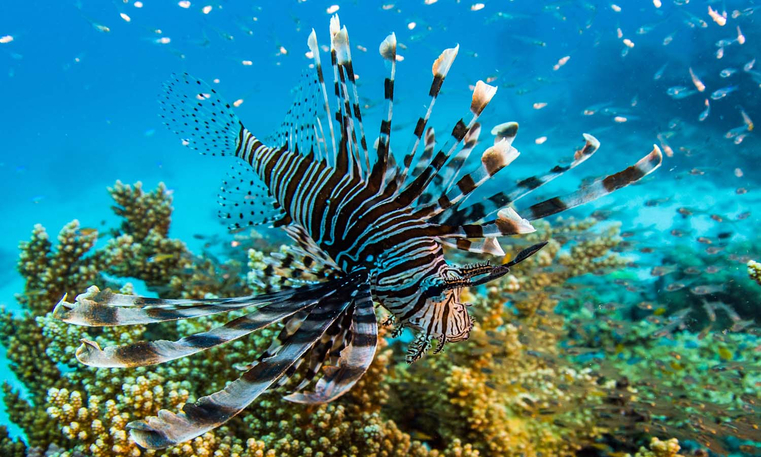 The Lionfish may look spectacular, but its venomous spines can inflict a painful sting on an unwary diver. (Photo Courtesy Courtesy of Nick Robinson and Luke Peterson / © Eye Spy Productions Trading as Northern Pictures)