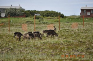 The reindeer grazing in their new home, a football-field-sized pen built in the village. Photo taken July 6. Photo: Native Village of Port Heiden.