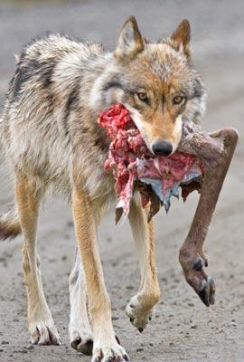 Anchorage Coyotes Eat Dog