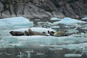 Harbor seals rest on ice near South Sawyer Glacier in 2007. New federal guidelines suggest, but don't require, vessels to stay about 500 yards away from the marine mammals to lessen disturbances. (Photo courtesy NOAA's Alaska Fisheries Science Center)