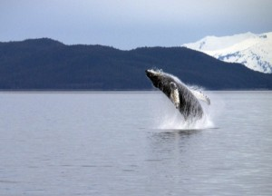 Some Juneau Whale-Watching Companies Commit To A Higher Standard