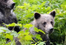 rown bear cubs near Haines photographed in 2010. (RayMorris1/Flickr Creative Commons)