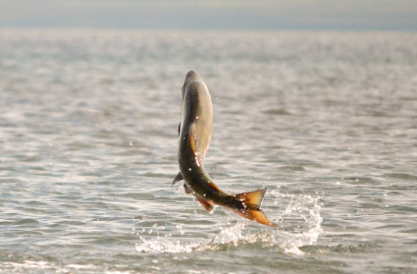 Chum salmon leaping near Cold Bay, AK. Photo: K. Mueller, U.S. Fish and Wildlife Service on August 28, 2011.