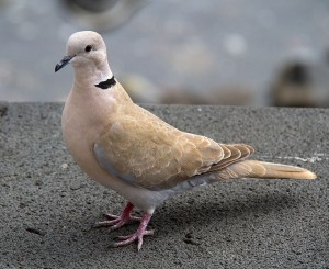 A collared dove in the U.K. Photo by Tony Hisgett from Birmingham, U.K. Accessed via the Wikimedia Creative Commons.