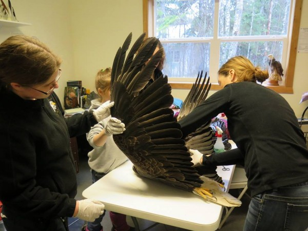 Eagle Foundation staff and visiting vet Michelle Oakley examine an injured eagle. (Courtesy American Bald Eagle Foundation)