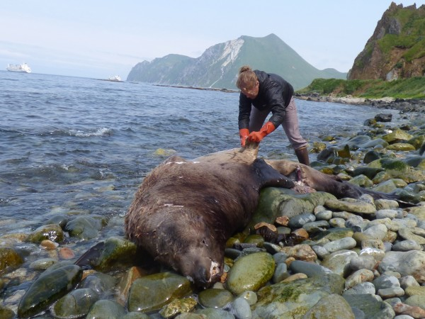 Melissa Good with UAF Alaska Sea Grant collects a sample from a Steller's sea lion carcass by Unalaska's Summer Bay. KUCB/John Ryan phot