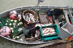 Fish delivered to a buyer in Emmonak in late 2007. Photo: Alaska Department of Fish and Game.