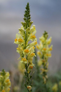 Common toadflax is native to Europe, but is an invasive species in Alaska. (Creative Commons photo by Oxana Maher)