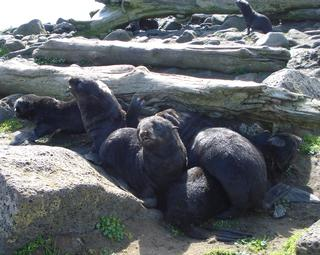 Northern fur seal pups on St. Paul Island, Alaska. NOAA photo.