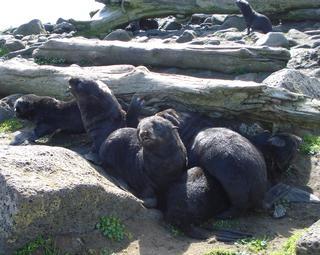 Northern fur seal pups on St. Paul Island, Alaska. NOAA photo.