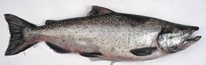 Chinook salmon. Photo: Alaska Department of Fish and Game.