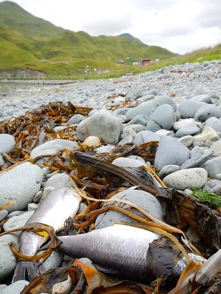 dead herring