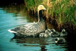 Emperor Goose. (U.S. Fish & Wildlife photo)